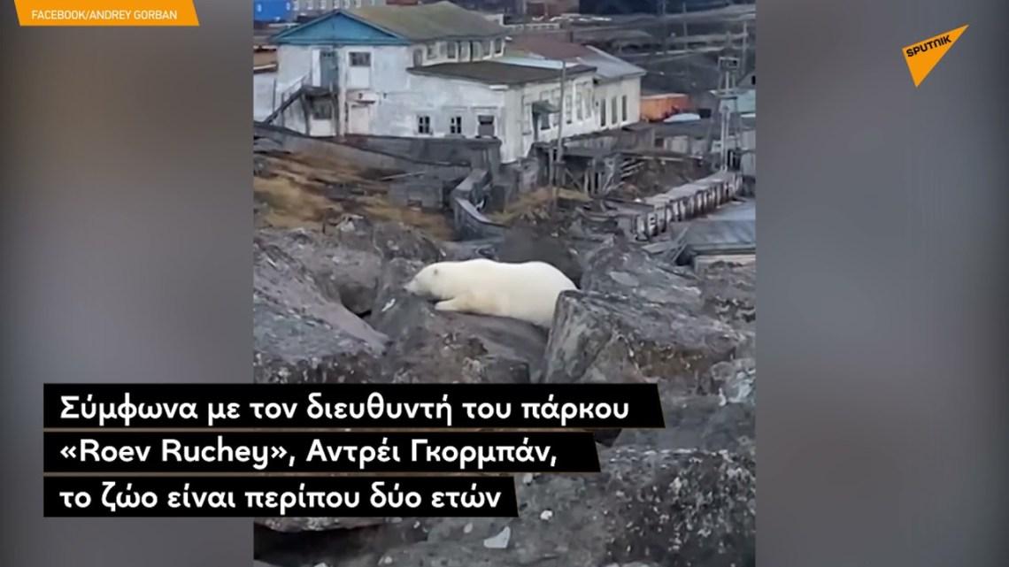 Πολικό αρκουδάκι περιμένει τη μαμά του για μέρες σε ακτή της Σιβηρίας
