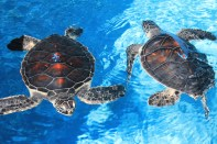 Two young green turtles, a species that inhabit coral reefs, swim in their enclosure at the center. (Kathleen Ferraro/MEDILL)