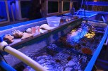 Corals growing in Maui Ocean Center's controlled wet lab tanks. (Kathleen Ferraro/MEDILL)