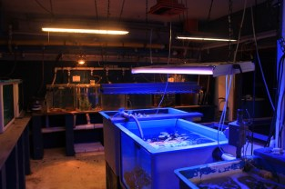 The center's indoor wet lab, housing corals in tanks under blacklight. (Kathleen Ferraro/MEDILL)