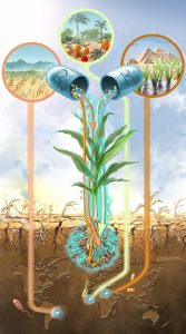 Future of drought resistance through bacteria