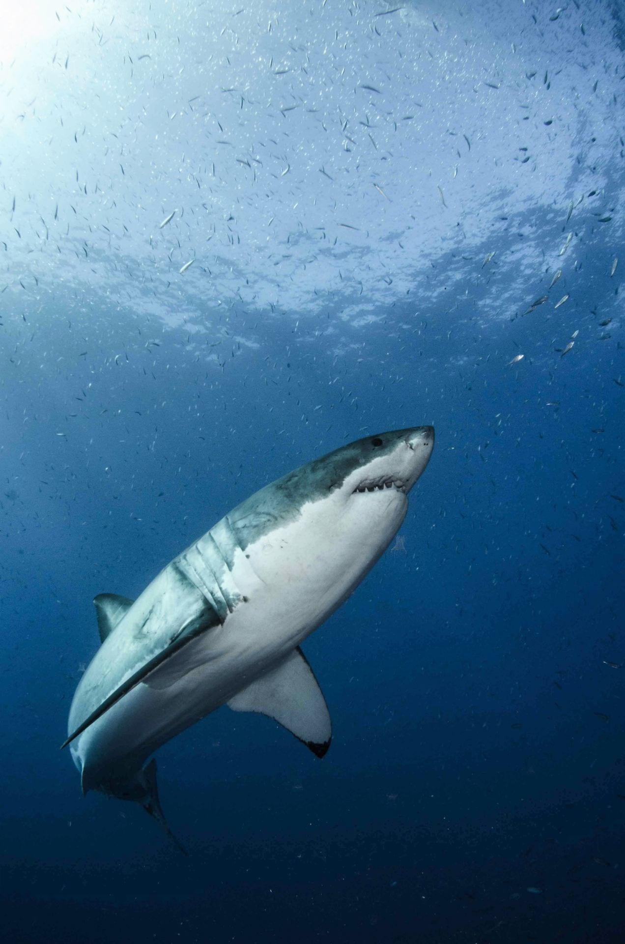 Great White Shark Genome Decoded Newsroom