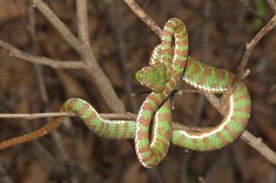 พบงูเขียวหางไหม้ภูเก็ต สายพันธุ์ใหม่ของโลก