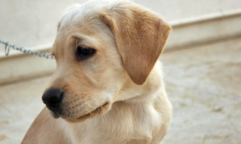 วังวนอันตราย: ฟาร์มเพาะสุนัข แหล่งแพร่เชื้อพิษสุนัขบ้า