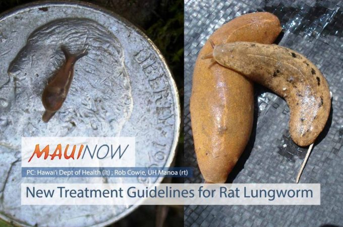 Maui Now : New Treatment Guidelines for Rat Lungworm