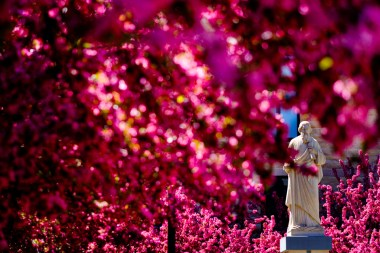 Pink blossoms fill the courtyard of the Saint Paul Seminary School of Divinity and surround a statue of St. Paul.