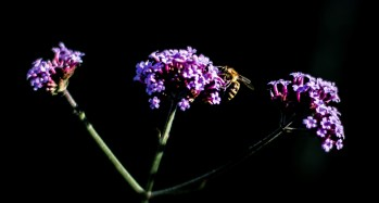 A bee experiences the power of purple on South Campus.