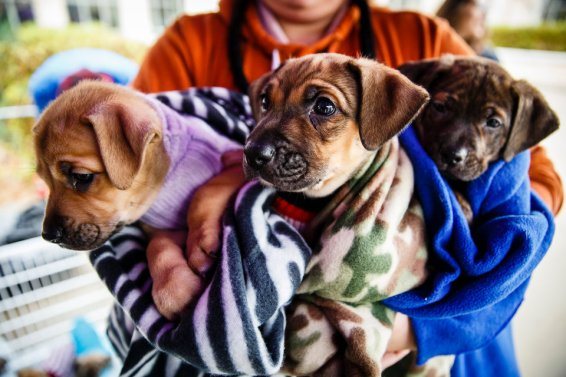 A volunteer holds three puppies during Tommie Give Day on Monahan Plaza in St. Paul on November 14, 2017 in St. Paul. Donors at the Pen of Puppies got the chance to hold a puppy.