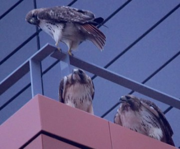 Biology Department to Launch Red Tailed Hawk Nest Cam     Syracuse     three hawks
