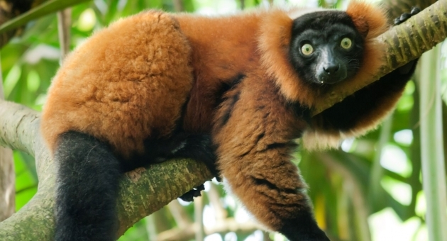Endangered lemurs illegally kept as pets threaten species survival
