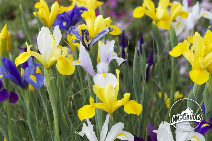 An extra perk of visiting Ironstone Vineyards in the spring is the colorful array of flowers.