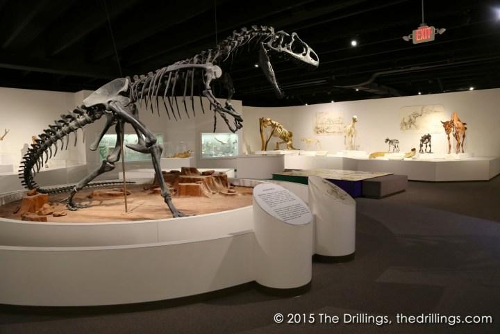 Allosaurus on display