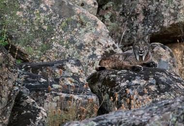 إسبانيا-حديقة سييرا دي أندوخار الوطنية-وشق-مصور السنة لعام 2016