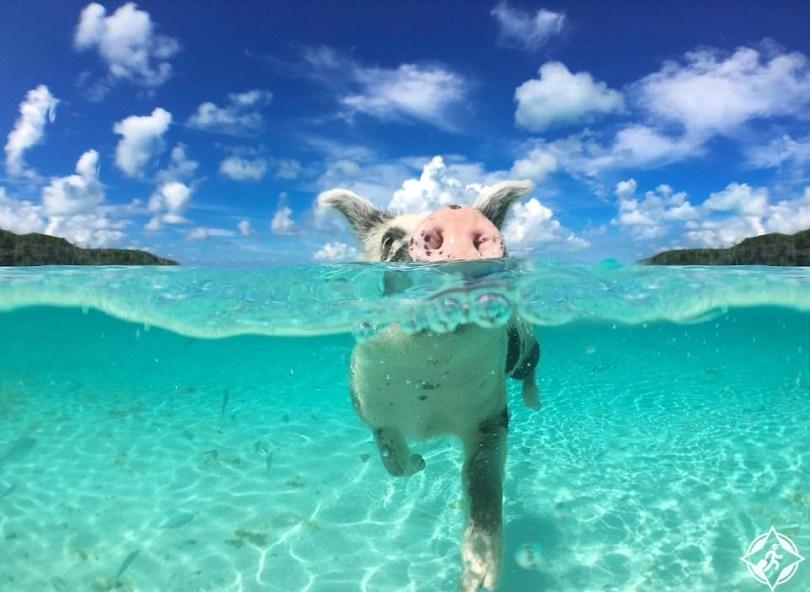 جزيرة الخنازير 2