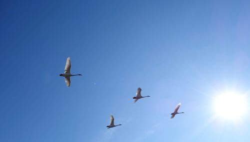 <i>Photo by Ned Rozell</i><br>Trumpeter swans fly through the Alaska Range.