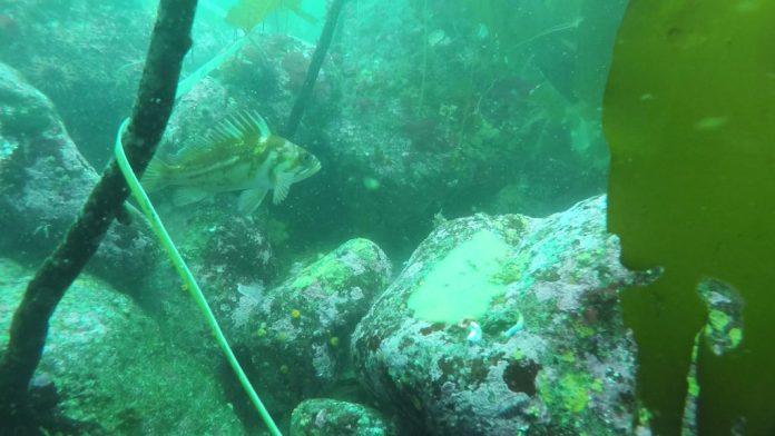 Coral algae in a forest of algae