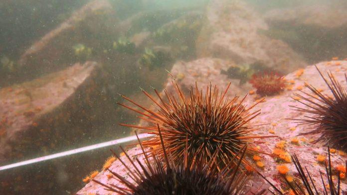 Coral algae in a sterile sea urchin