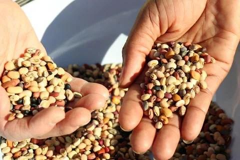 cowpea beans