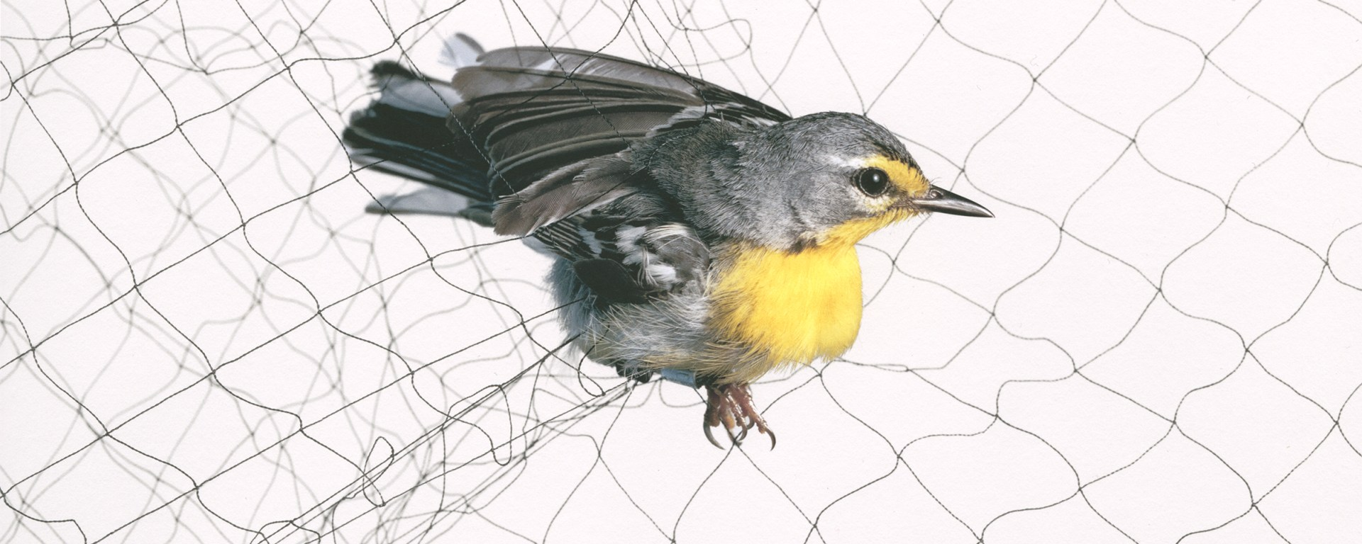 Todd Forsgren, Adelaide's Warbler (Setophaga adelaidae), 2009, from the series Ornithological, Accession no. 2016-07-001