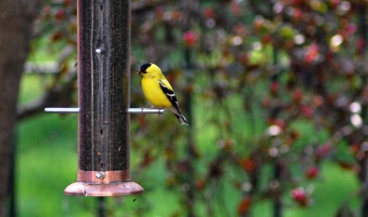 Goldfinch at a backyard birdfeeder