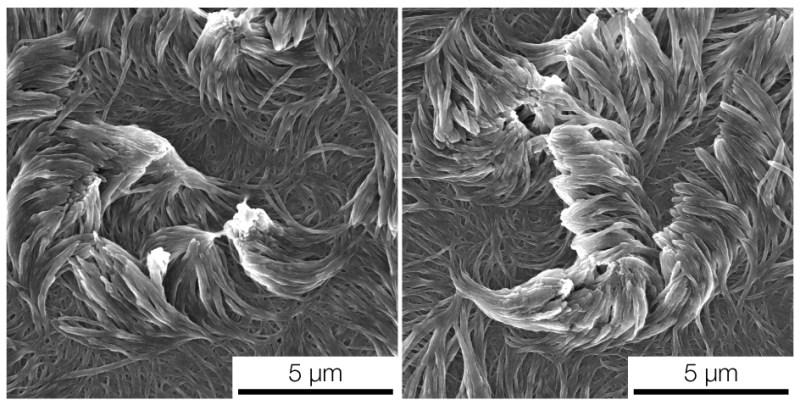 An electron microscope image of two arrays of fibers curving in opposite directions, each templated with a liquid crystal. Image credit: Kenneth Cheng, Lahann Lab, Michigan Engineering