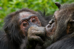 Like humans, chimps prioritize positive relationships as they age