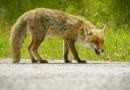 ANSA comunică depistarea a 8 cazuri de rabie, inclusiv câte 1 caz la o vulpe în Ungheni și la o bovină în Nisporeni