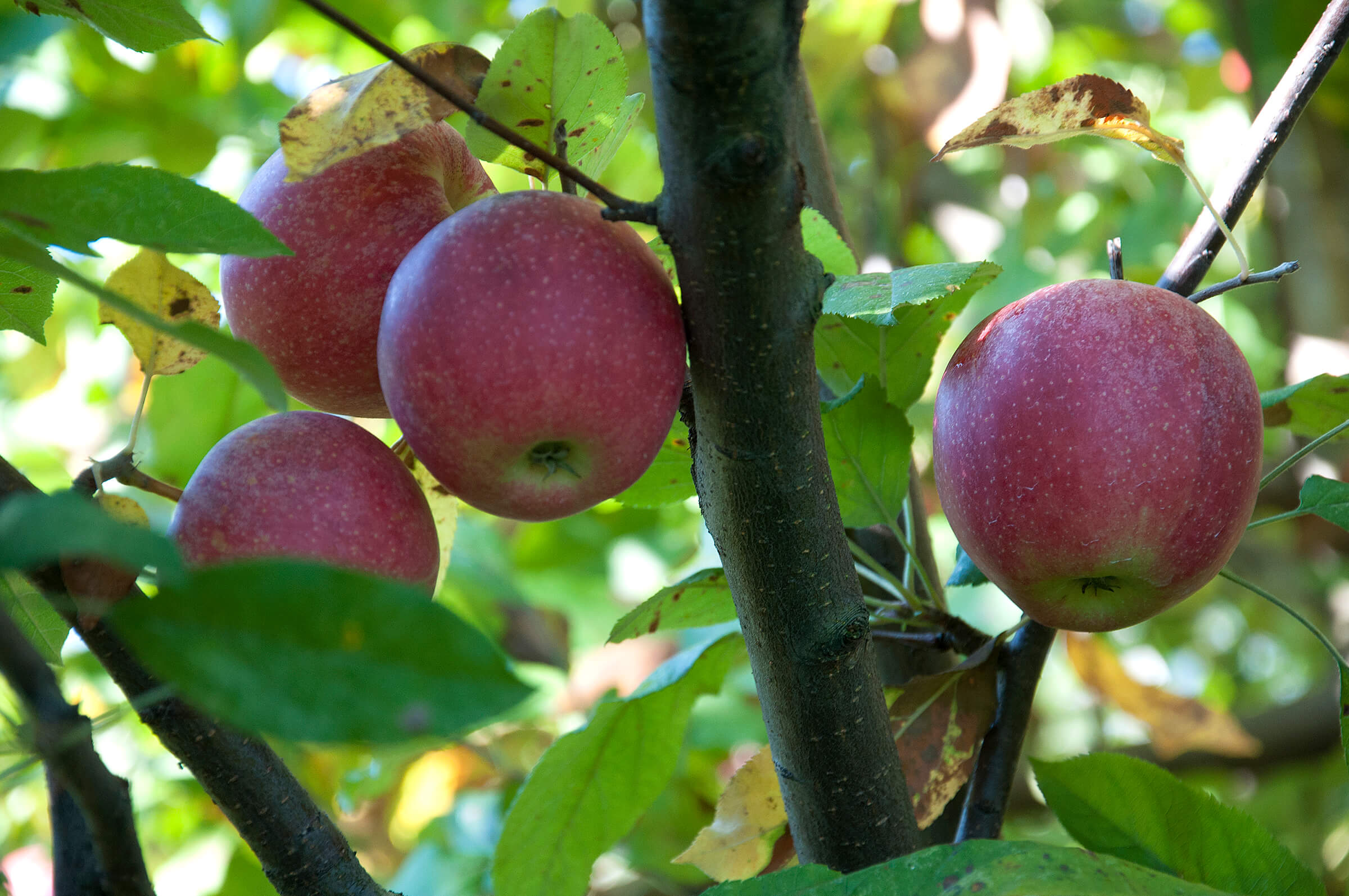 Apple Trees Bear More Fruit When Surrounded By Good