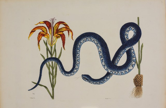 """Banded Watersnake and Pine Lily,"" 1736, by Mark Catesby"