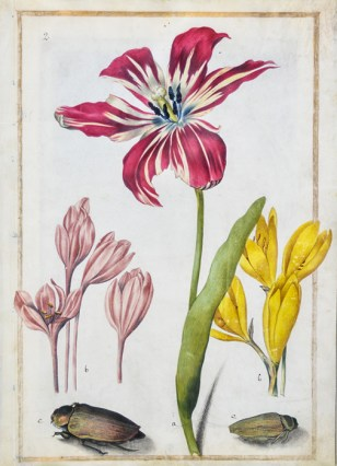 """""""Study of a Tulip, Two Crocus, and Two Beetles,"""" circa 1690, by Maria Sibylla Merian"""