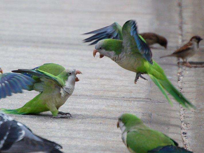 parakeetsfighting