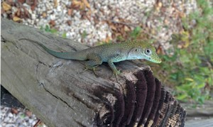 anole_scaled