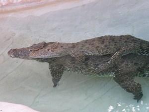 Crocodile piggyback