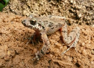 Caucasian parsley frog