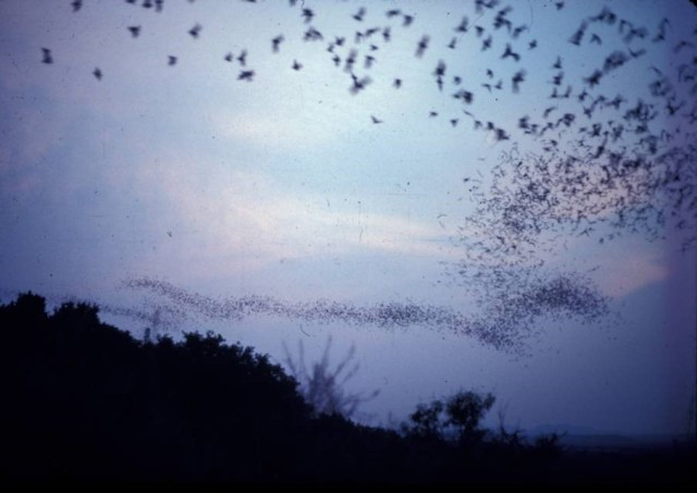 Bats leaving the roost at Frio Cave. (Photo source/credit: Gary McCracken)