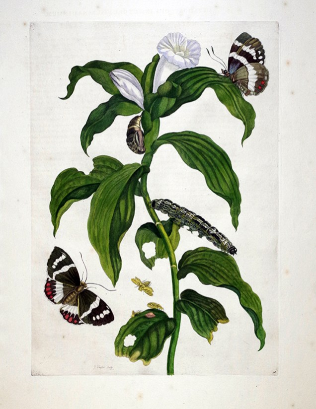 Tobacco Plant and Butterfly