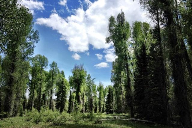 trees1500