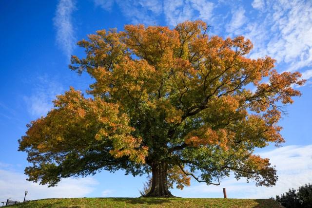 A Shumard Oak in