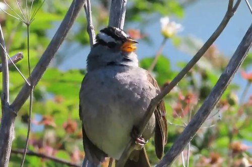 newswhitecrownedsparrow