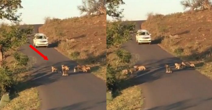 Trending Video: Guess how many Lion cubs are in video? keep counting