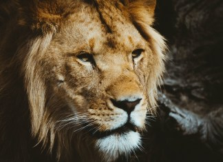 Are you an ICT lion?