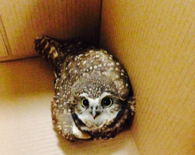 Little owl gets picked on by big birds, police intervene.