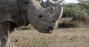 Eight black rhinos