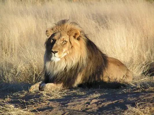 Karoo lion