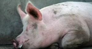 Pigs swine fever