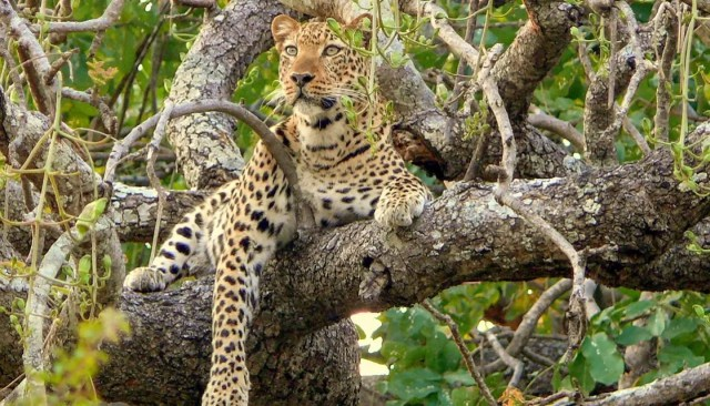 2 Year Old killed by Leopard