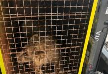 Lion cubs rescued