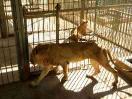 A malnourished lion and lioness rest in its cages after receiving treatment at al-Qureshi park in the Sudanese capital Khartoum