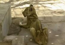 underfed lion