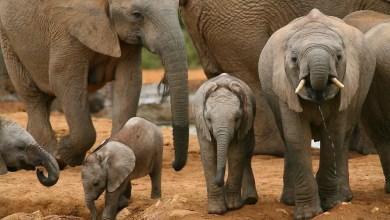 Baby african elephants